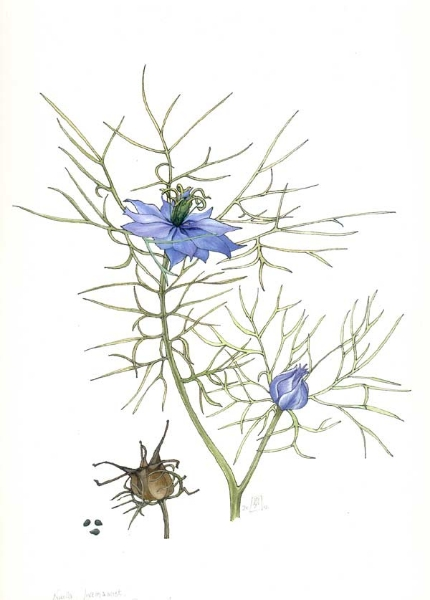 Nigella damascena.