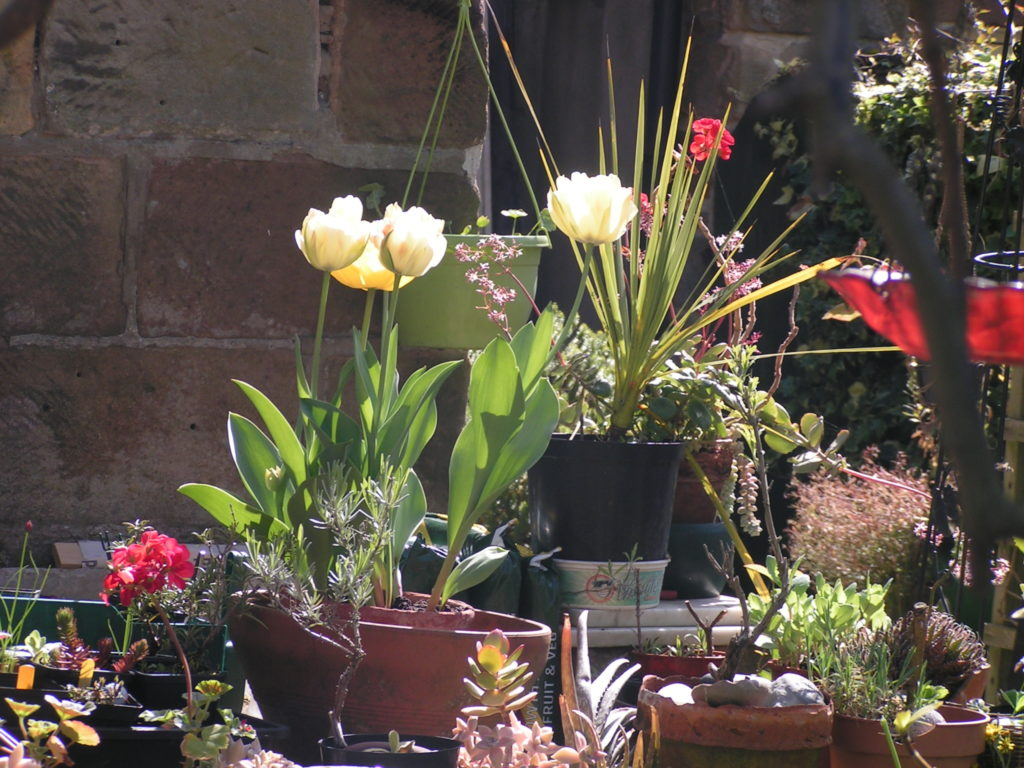 Plant pots in front of a stone wall. Flowering tulips (tulipa akebono), pelargoniums and others. Warm sun...